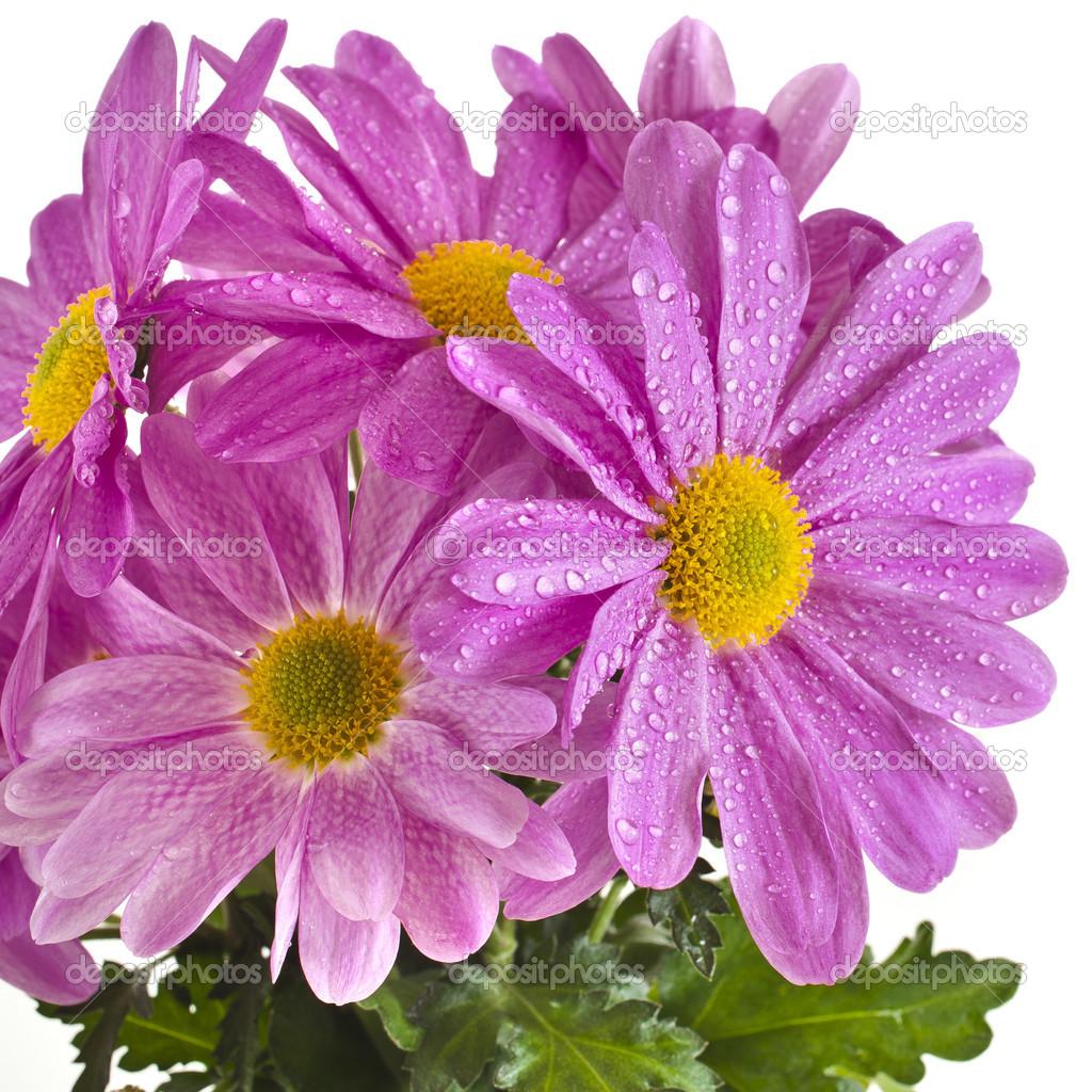 Beautiful bouquet of pink chrysanthemum flower daisy stock photo beautiful bouquet of pink chrysanthemum flower daisy photo by madllen izmirmasajfo