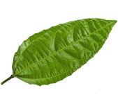 jeden zelený list stromu mučenka zblízka makro snímek sada izolovaných na bílém pozadí