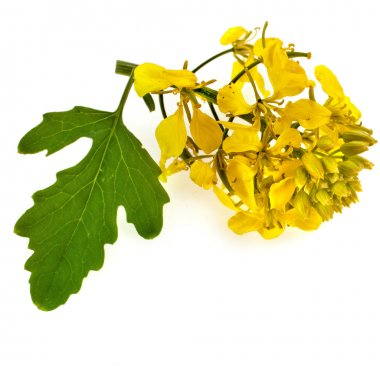 Flowering mustard plant close up isolated on white background