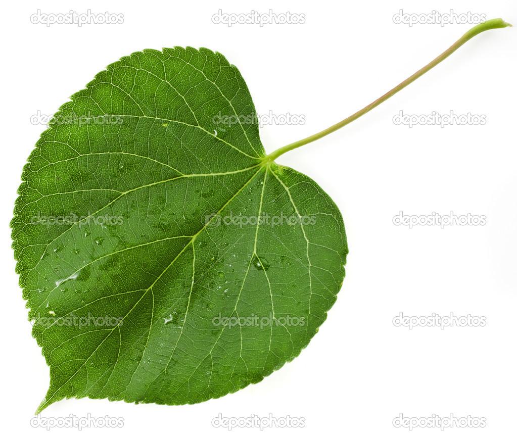 нас прекрасно листья липа в картинках желающих приобрести это