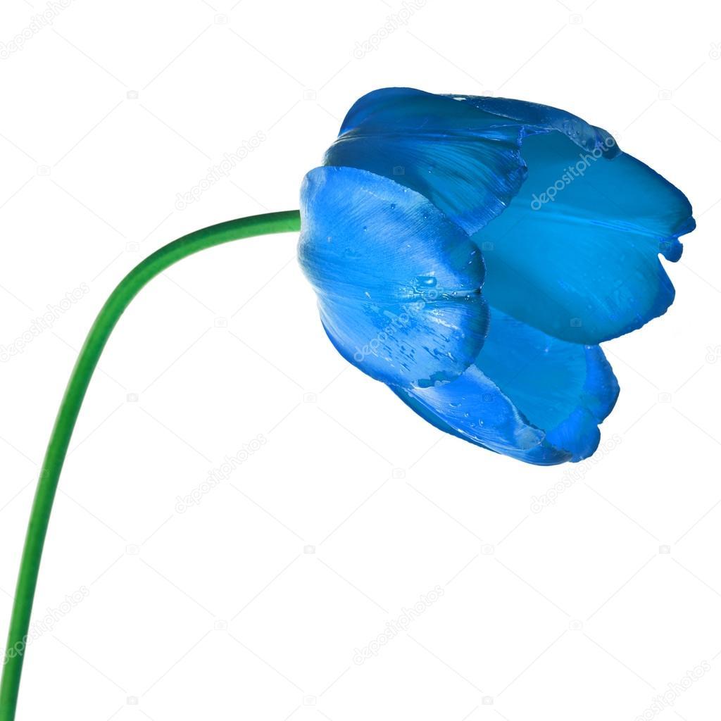 One Single Tulip Flower Isolated On White Background Stock Photo
