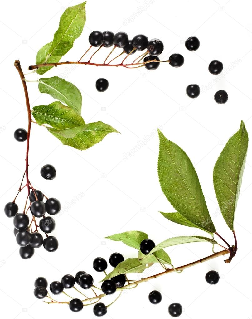 Border frame of bird cherry branch with berries top view close up isolated on a white background