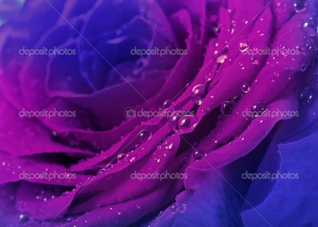 Belle Image Rose Bleu belle rose bleu avec de l'eau descend de surface près de fond