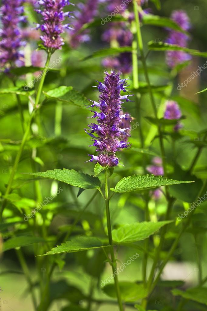 Peppermint plant flower in sunlight day — Stock Photo ...