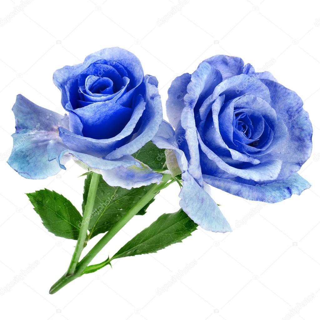Belle Image Rose Bleu deux belle rose bleu — photographie madllen © #32758115