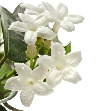 Jasmine Stephanotis plant