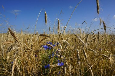 Rye field on a blue sky background
