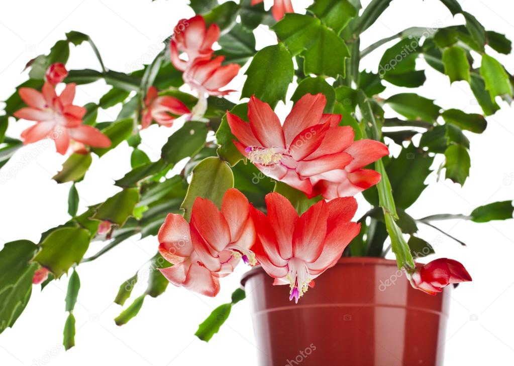 blooming christmas cactus schlumbergera species in flowerpot isolated on white background. Black Bedroom Furniture Sets. Home Design Ideas