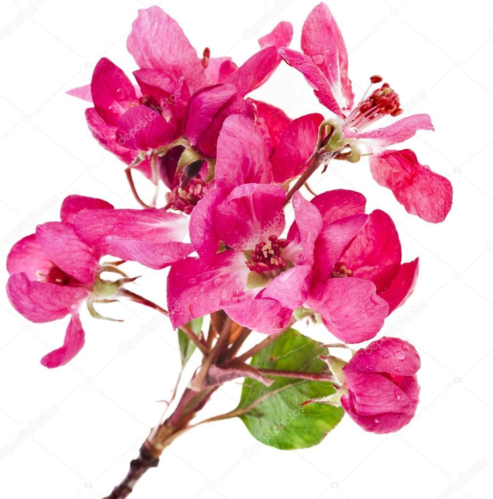 kwiaty wiśni z 1974 roku Speed Dating Salem Ma