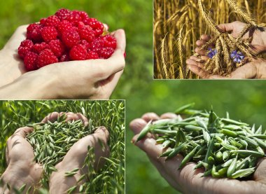 Collage of handful oats, wheat and raspberries on green summer field, harvest concept stock vector