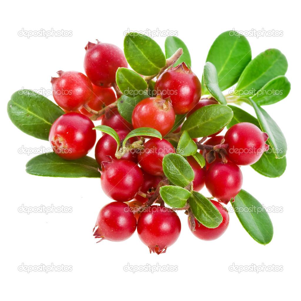 Cowberry Lingonberry Vaccinium vitis idaea isolated on white background  32