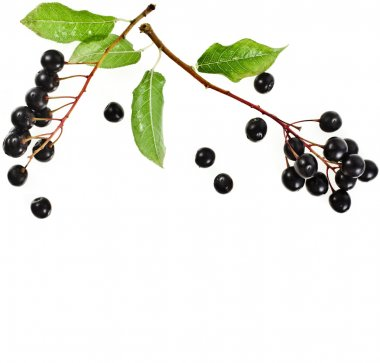 Border frame of bird cherry branch with berries