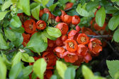 Blossoming quince Japanese
