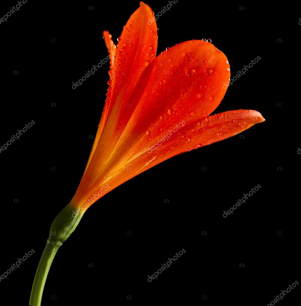 Single Flower Head Bud Of Lily Clivia Kind Stock Photo C Madllen