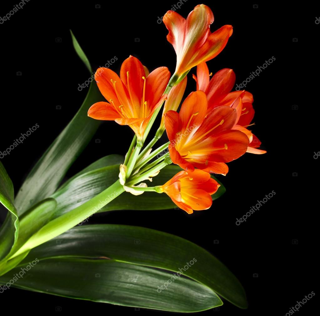 Orange color flowers of lily clivia stock photo madllen 44481997 orange color flowers of lily clivia stock photo izmirmasajfo