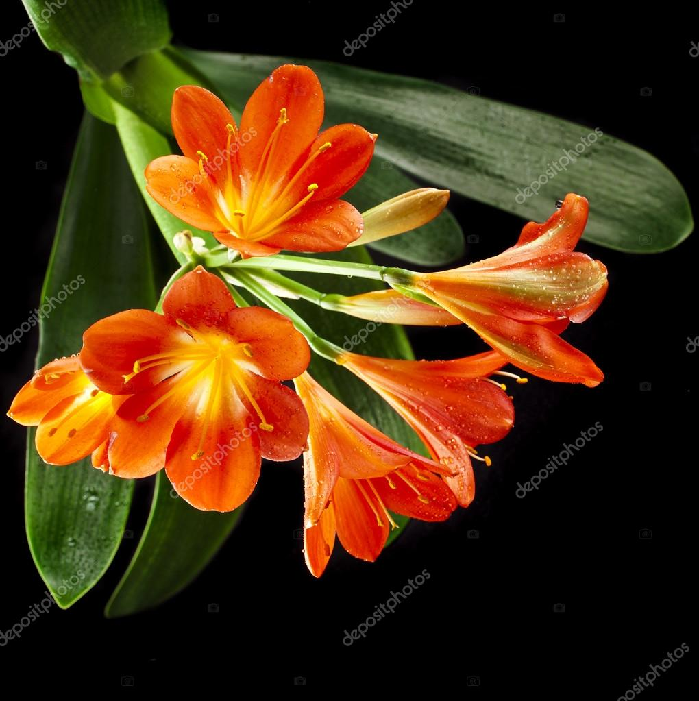 Orange color flowers of lily clivia stock photo madllen 44482953 orange color flowers of lily clivia stock photo izmirmasajfo