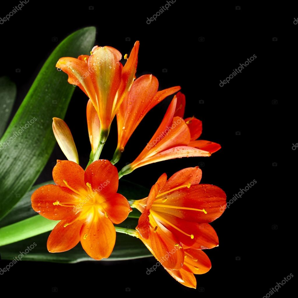 Orange color flowers of lily clivia stock photo madllen 44483203 orange color flowers of lily clivia stock photo izmirmasajfo