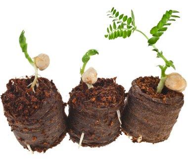 Growing peas seedlings