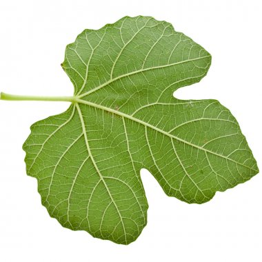 One fig tree leaf surface