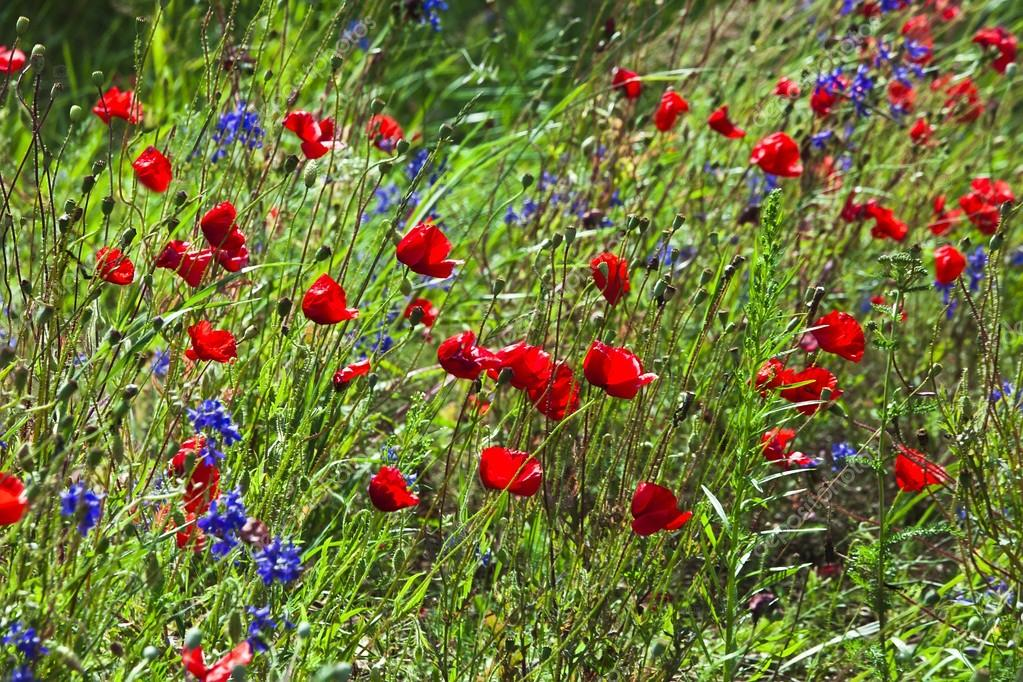 Field of bright red poppy flowers in summer day