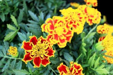 Yellow Chrysanthemum flower in the garden