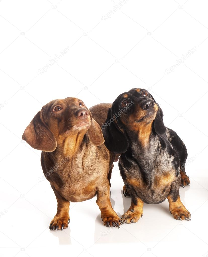 Two dachshunds on a white background