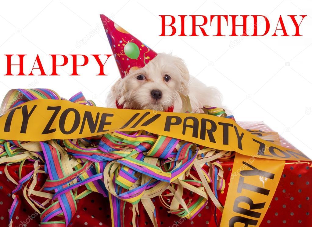 Maltese Hond Met Feest Hoed Met Verjaardag Gefeliciteerd Stockfoto