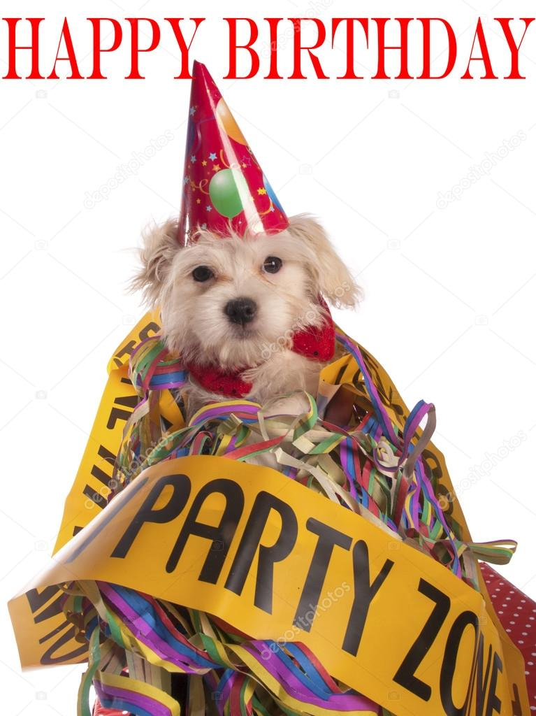 Maltese Dog With Party Hat Birthday Congratulations Stock Photo