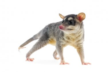 Four-eyed Opossum - Metachirus Nudicaudatus
