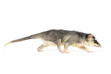 Four-eyed Opossum