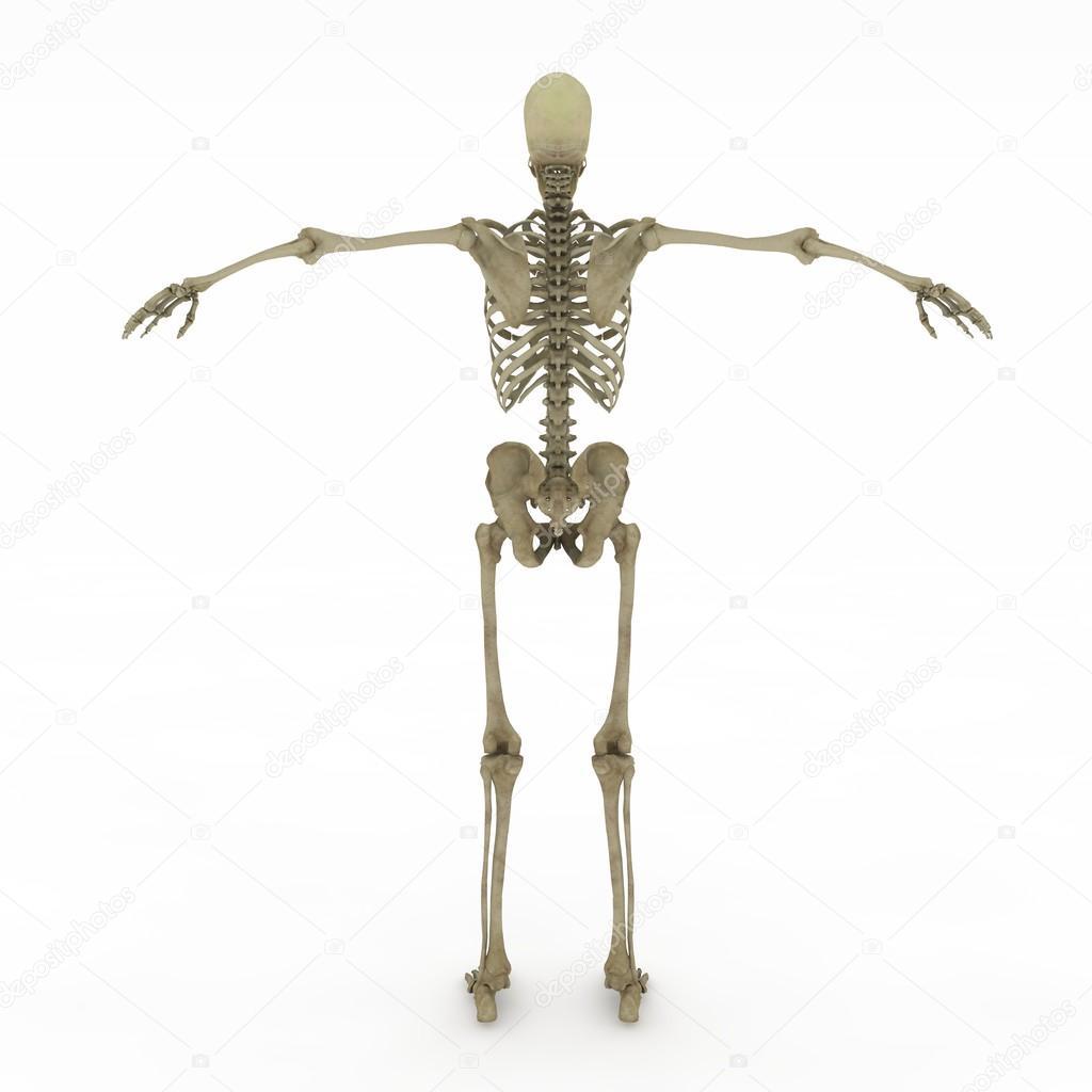 weibliche Anatomie nur Skelett — Stockfoto © suzi44 #28603545