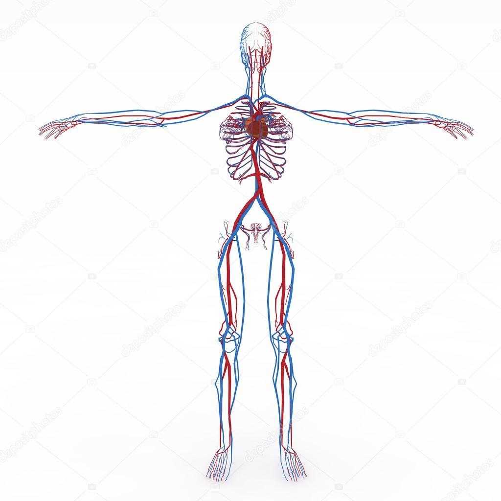 genaue weibliche Anatomie — Stockfoto © suzi44 #28603605