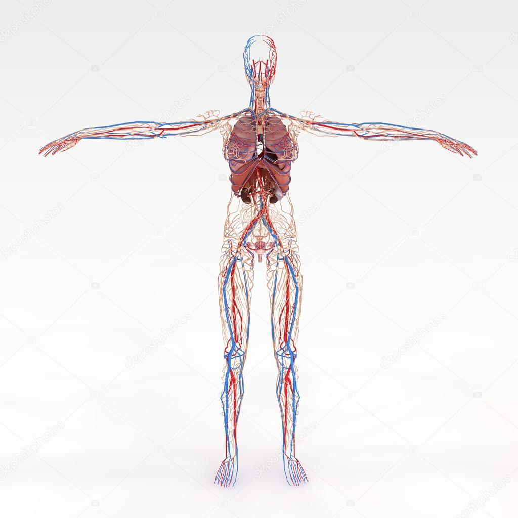 Accurate Female Anatomy Stock Photo Suzi44 28603797