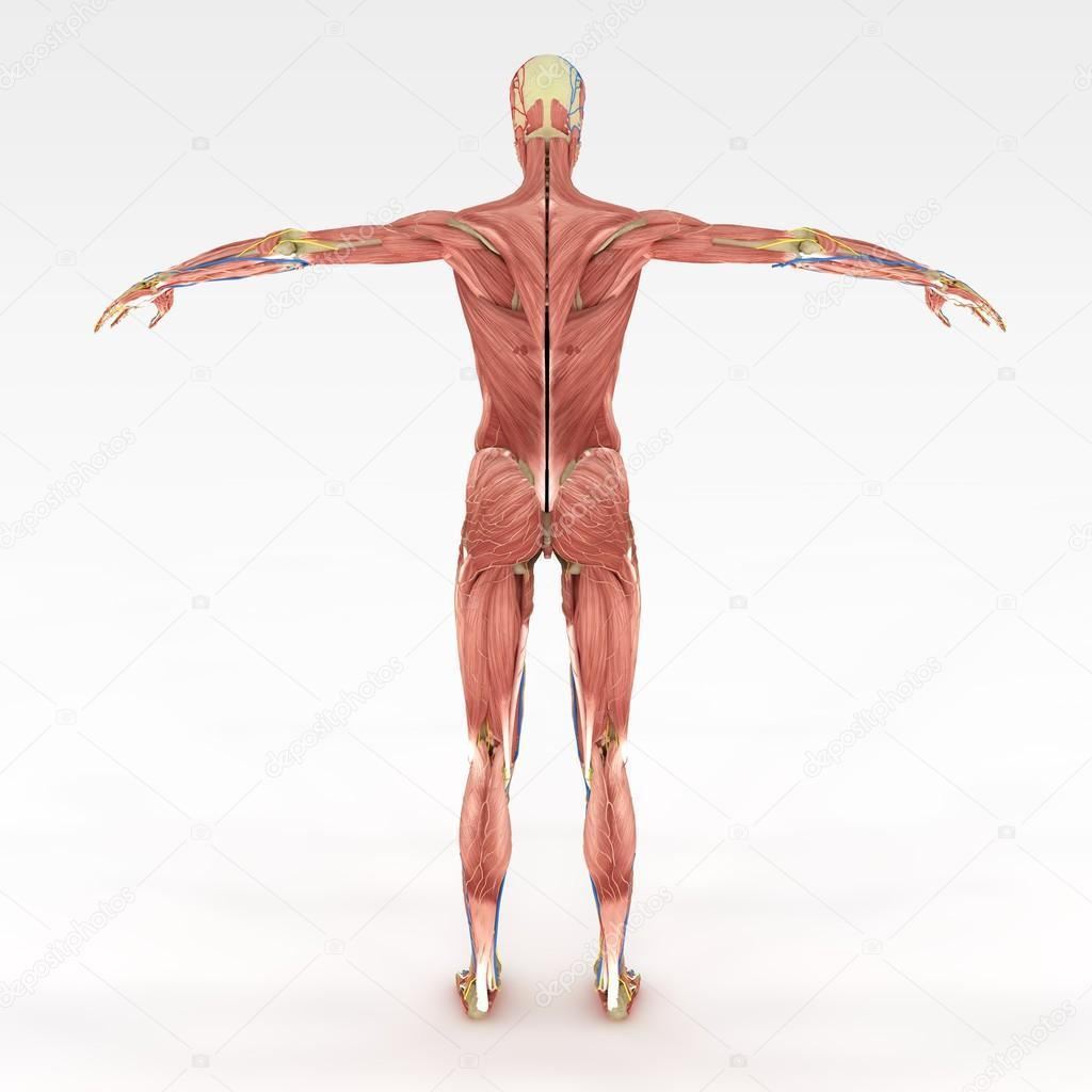 genaue weibliche Anatomie — Stockfoto © suzi44 #28603919