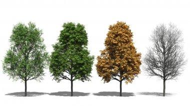 Acer platanoides (Four Seasons)