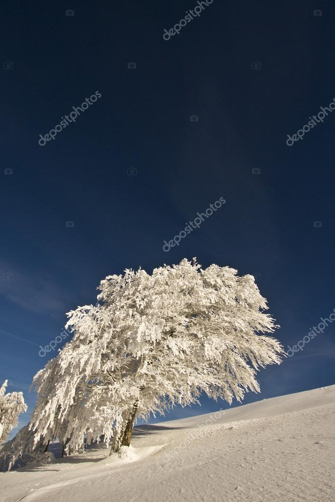 beech tree under snow in mountain summit