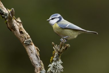 blue tit bird specie Parus caeruleus