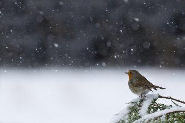 european robin bird specie Erithacus rubecula in snowing weather