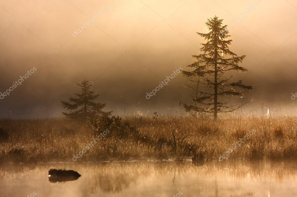 Fir tree in misty morning in scenic peat bog
