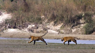 Two young Wild Tigers running in riverside in Nepal