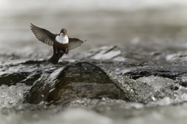 White-throated dipper, bird flying in middle of river