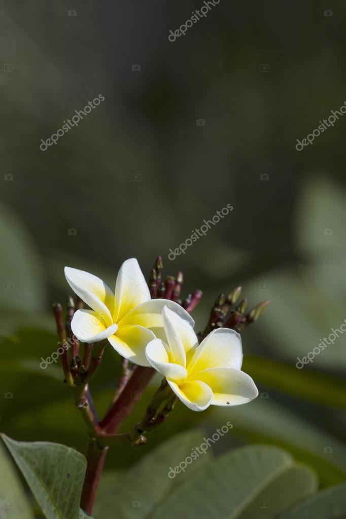 Tiare Flower in Nepal