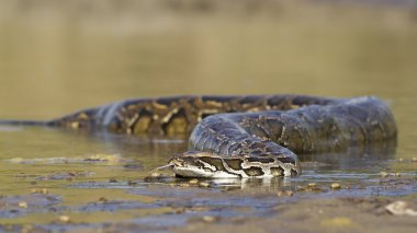 Asian Python in river in Nepal