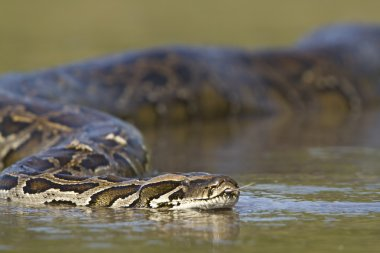 Asian Python in Nepal'sr river