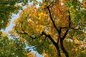 albero di acero con foglie di autunno