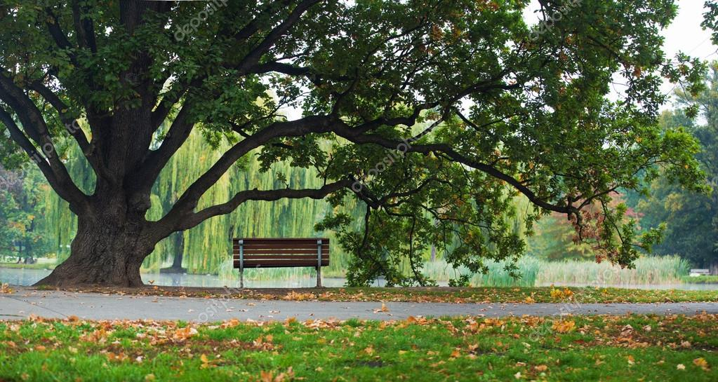Old oak tree and bench in park