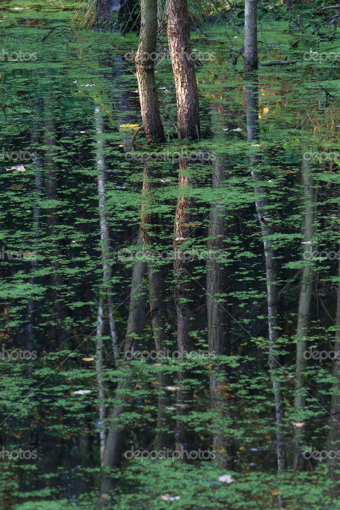 Trees reflection in green pond