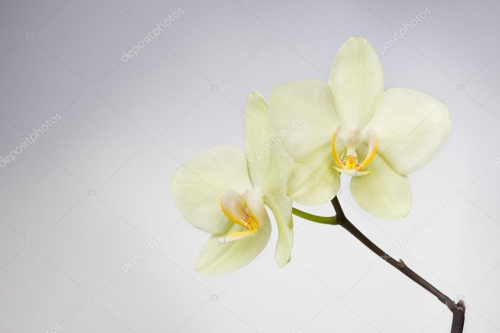 orchid flower over soft grey background