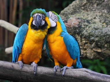 Whispering macaw