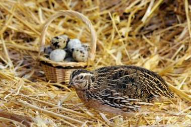 Chinese quail and eggs